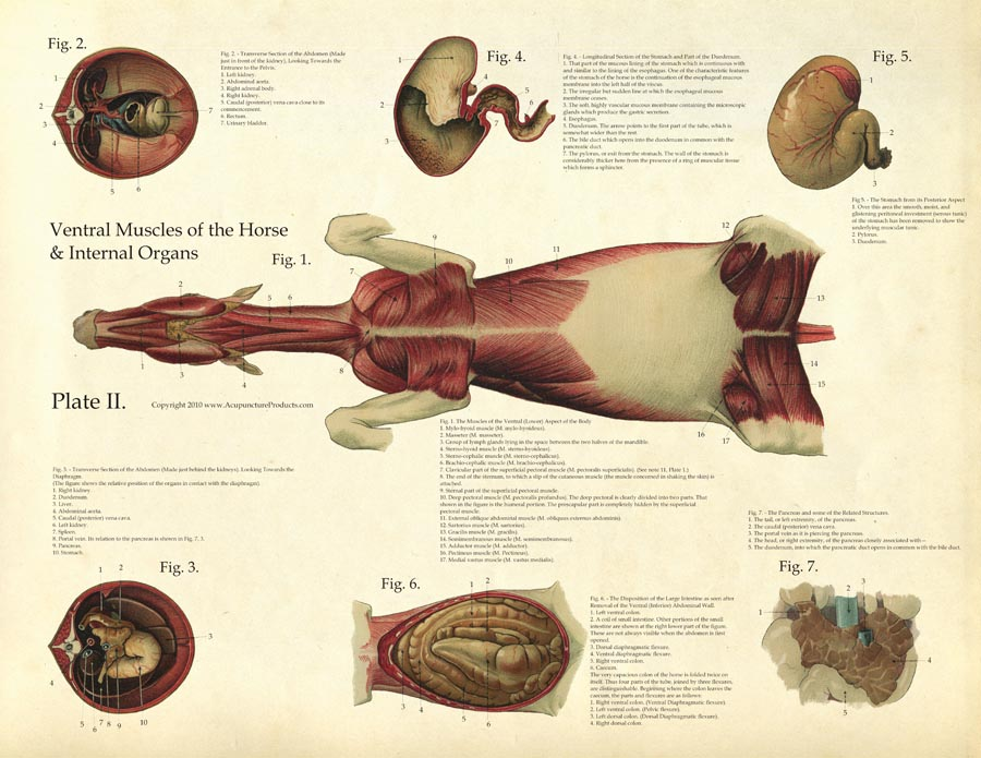 Laminated Antique Anatomy Chart - Ventral Muscles/Organs of the ...