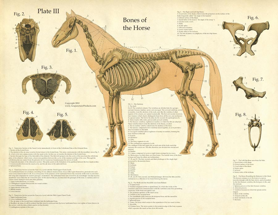 Laminated Antique Anatomy Chart - Bones of the Horse-www.hoofprints.com
