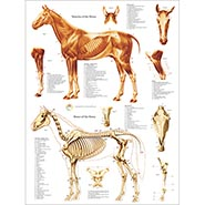 Anatomy of the Horse - Muscles and Bones
