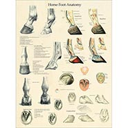 Horse Foot Anatomy and Pathology