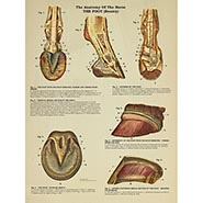 Anatomy of the Horse - The Foot (Bouley)