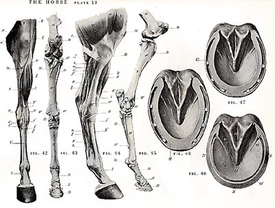 An Atlas of Animal Anatomy for Artists-www.hoofprints.com