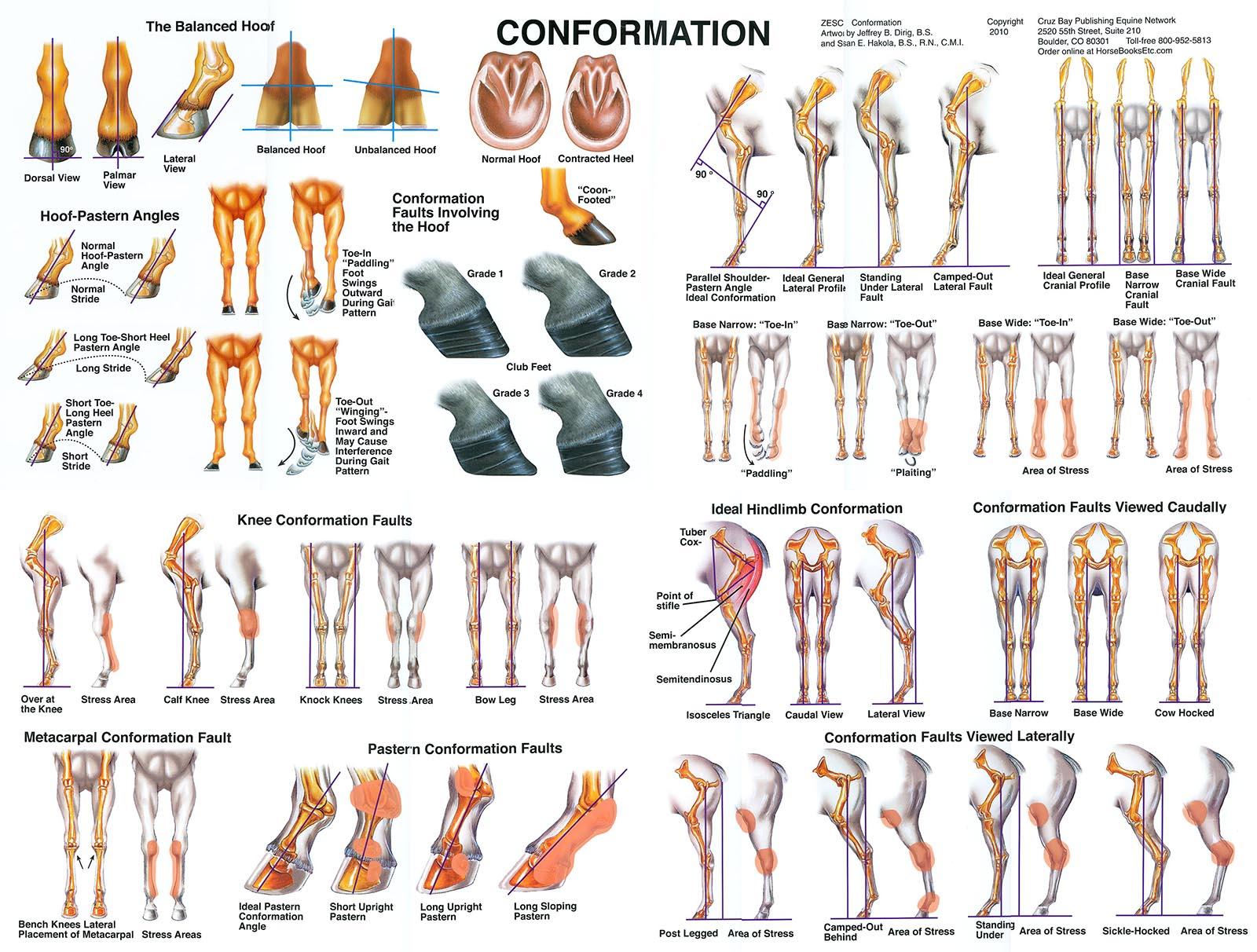 Dog Conformation Diagram - Schematics Wiring Diagrams •